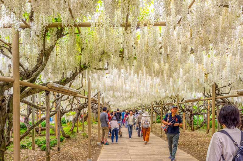 white wisteria tunnel