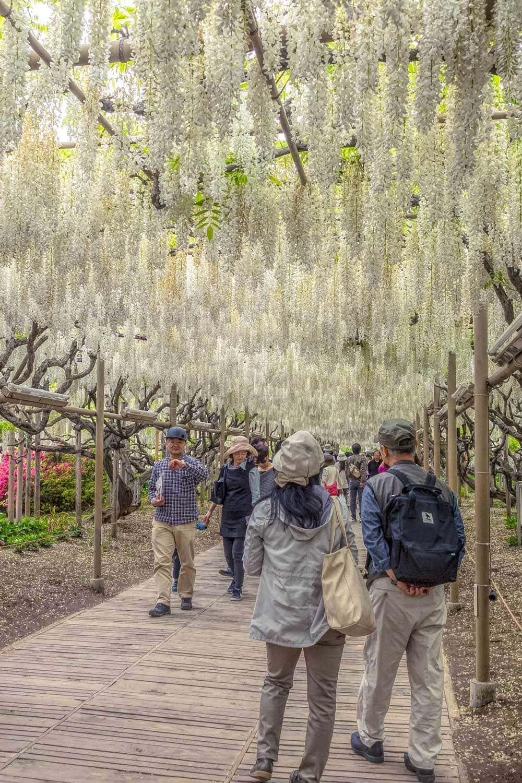 Ashikaga flower garden white wisteria walkway