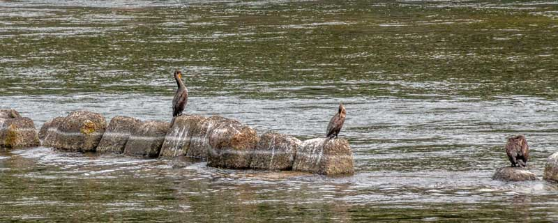 Cormorant fishing on the Uji-gawa river