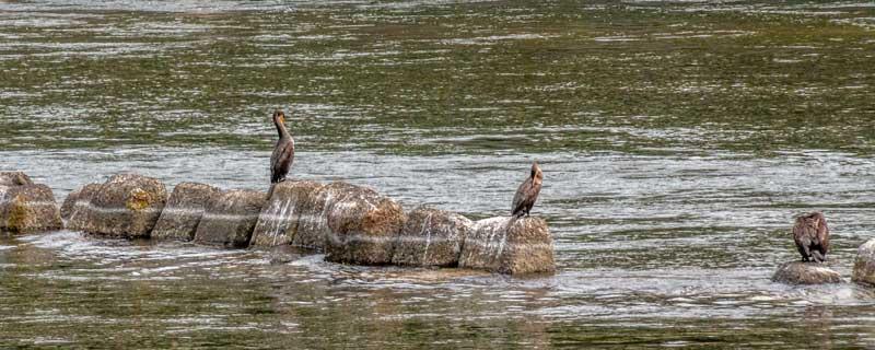 Cormorant fishing on the Uji-gawa river