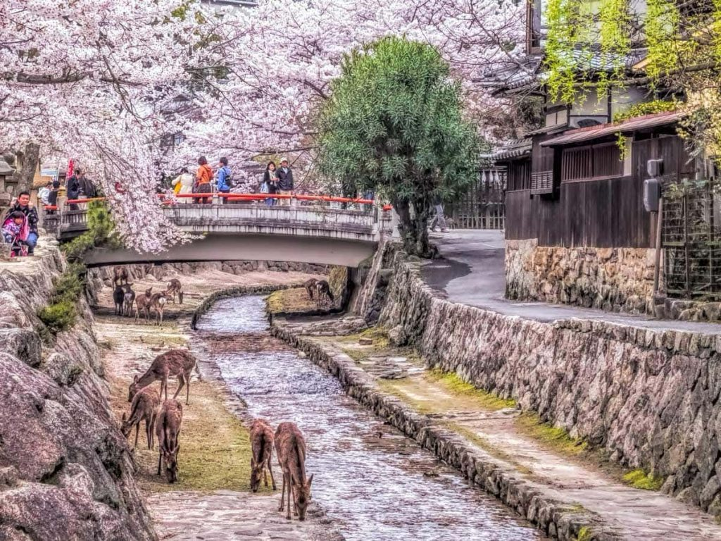 Deer on Miyajima island during sakura