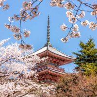 Kiyomizudera temple in Kyoto behind the cherry blossom