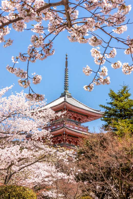 Kiyomizudera temple in Kyoto behind the cherry blossom