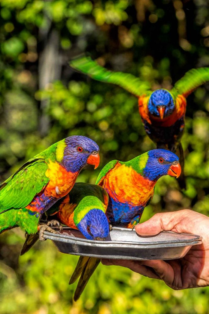 Rainbow lorikeets being fed at Currumbin Wildlife Sanctuary
