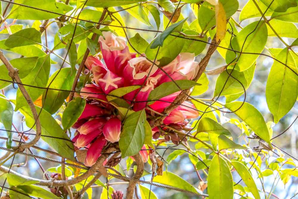 fraser island creeper vine in flower