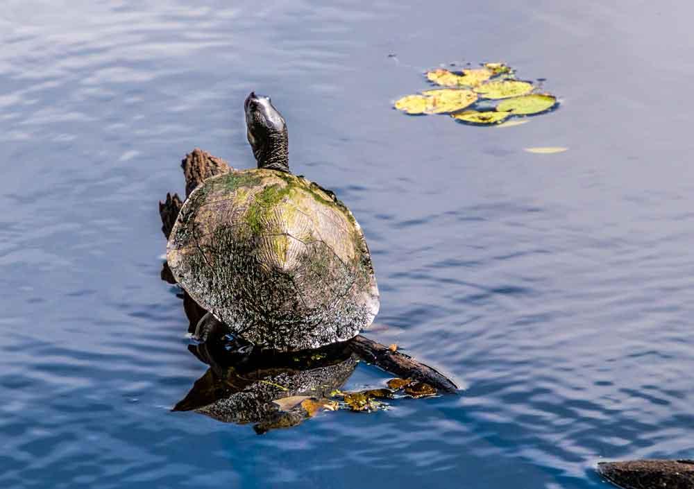 Brisbane River turtle in Crystal Waters lagoon