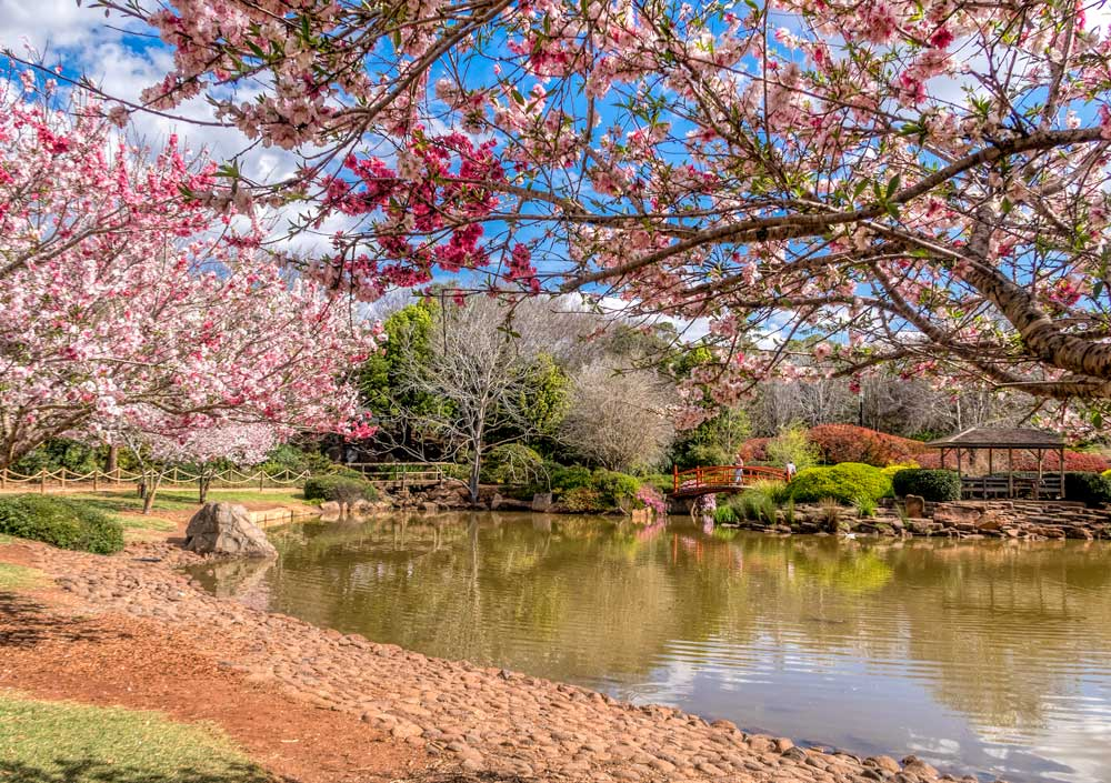 Plum trees in blossom at the Japanese Garden in Toowoomba