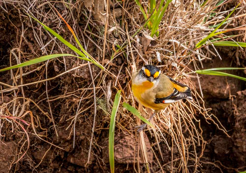 Striated Pardalote in Toowoomba