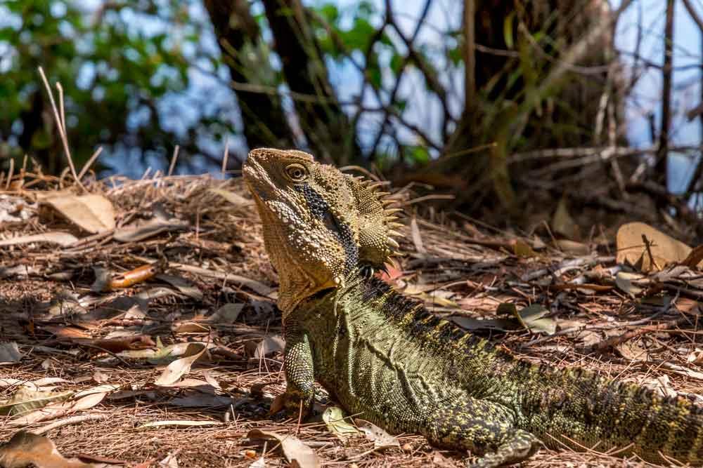Water dragon at Crystal Waters Lagoon
