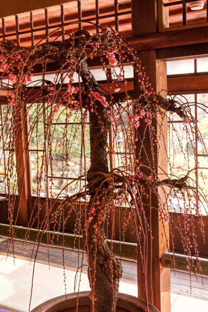 Plum blossom bonsai on display in Nagahama