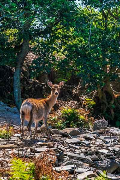Wild deer on Nozaki Island
