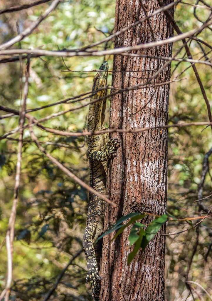 Goanna at Venman bushland