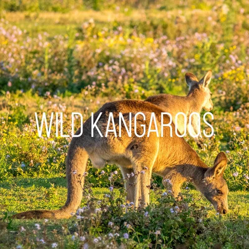 Wild kangaroos at Coombabah on the Gold Coast