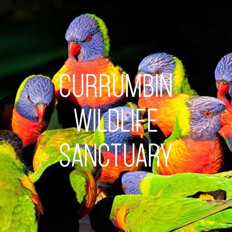 Rainbow lorikeets being fed at Currumbin Wildlife Sanctuary