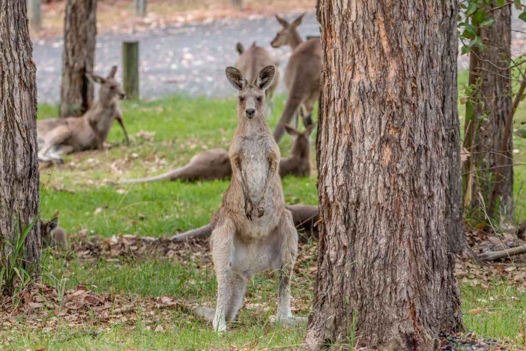 Mob of kangaroos at Lake Cresswell
