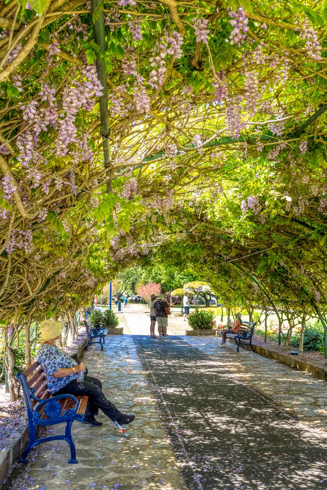 Wisteria tunnel at Laurel Bank Park in Toowoomba