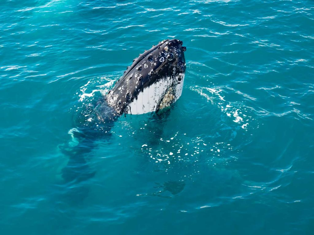 Humpback whale from the Spirit of Hervey Bay