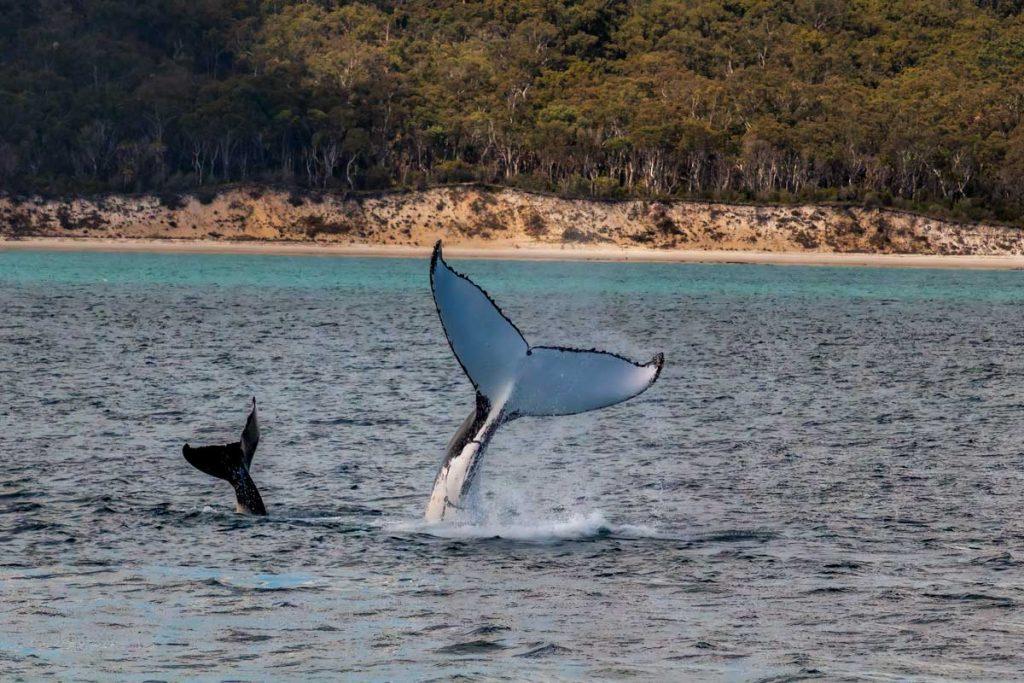 Mum and bub humpback whale