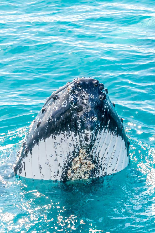 Whale spy hopping next to Spirit of Hervey Bay